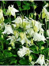 50+ AQUILEGIA 'GRANNY BONNETS' aka 'COLUMBINES' PLANT SEEDS - Sgl. WHITE FLOWERS