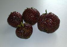 Erdbeerpflanzen schwarze Erdbeere