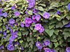 25 Graines de fleurs d'Ipomée Méthode BIO seeds plantes fleurs grimpantes jardin