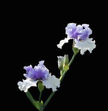 TALL BEARDED IRIS X 1 RHIZOME ***  ALPENVIEW  ***   - COLUMBINE BLUE/WHITE