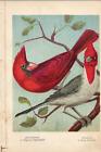Antique Color Plates (Holden, 1888) – Red Cardinal. Grey Cardinal.