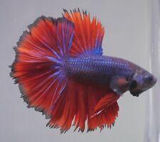 New listing live betta Tropical Betta Fish-blue Red blacklace Rosetail halfmoon betta C77
