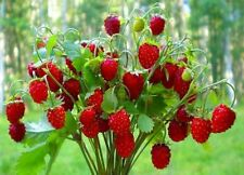Seeds Rare Strawberry Regina Red Everbearing Climbing Berries Organic Ukraine