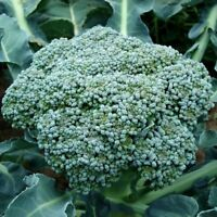 Waltham 29 Broccoli Seeds, NON-GMO, Easy to Grow, High Yields, FREE SHIPPING