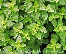 Andorn Plante Médicinale Précieuse Heilpflanze 50 Graines Résistant à L'Hiver