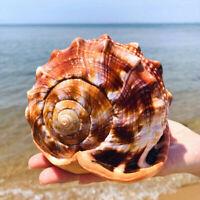 Sea Snail Adorn Natural Bull's Mouth Conch Home Ornamen Shell Coral Fish Tank