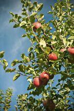 Fuji Apple Tree Cuttings