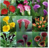 Beautiful Mixed Assorted Calla Lily 80 SEEDS  --BUY 4 ITEMS FREE SHIPPING