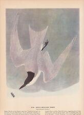 """1942 Vintage AUDUBON BIRDS #319 /""""LEAST TERN/"""" DIVING Color Art Plate Lithograph"""