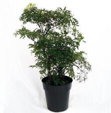 Ming Aralia Pre-Bonsai Tree Polyscias Fruticosa Indoor Outdoor Elegant Decor