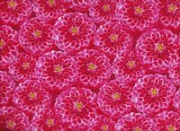 BTY Wilmington Prelude PINK DAHLIAS Print 100% Cotton Quilt Craft Fabric by Yard