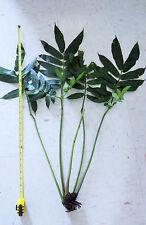 Rare Angiopteris evecta Giant King Fern tree Rhizome World's Largest Fern plant!