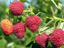 Potted Autumn Britten Everbearing Red Raspberry Plants
