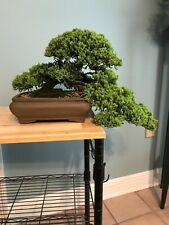 Greenmound Juniper Bonsai Tree Procumbens nana. This is a beautiful healthy tree