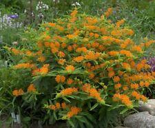 50+ORANGE BUTTERFLY WEED Seeds MILKWEED Monarch American Native Wildflower