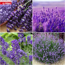 25 LAVENDER 'TRUE ENGLISH' SEEDS(Lavender vera); Fragrant Flowers
