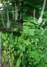 10 Black Cohosh Seeds Stately Woodland Herb With Medicinal Uses