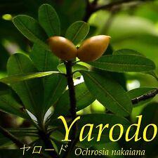 ~YARODO~ Ochrosia nakaiana BIG 3+ft Ogasawara Islds SALT TOLERANT Japanese Tree