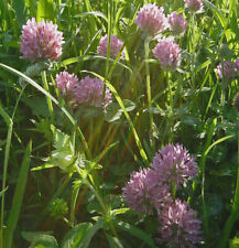 CLOVER Red  ORGANIC SEED  Mass of flowers. Excellent nectar source for bees.