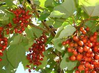 Igiri Tree, Multi purpose tree! Edible/wildlife/bonsai! RARE and fully hardy!🌳
