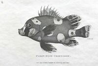 1803 Shaw SCARCE COPPER PLATE ENGRAVING Pleat-Nose Chaetodon EXCEPTIONAL Fish