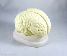 New Professional Educational Brain Model With Base Anatomy Medical IT-042 ARTMED