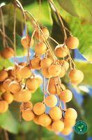 10 seeds of Longan - DIMOCARPUS LONGAN + GIFT 5 seeds Sunflower