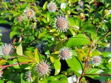 30 Chinese Buttonbush Seeds - Adina rubella