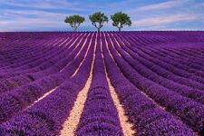 : Das Duftöl vom Duft-Lavendel wirkt sehr beruhigend und bringt Entspannung !