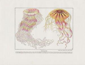 Schirmquallen Scheibenquallen Scyphozoa FARBDRUCK von 1912 Jellyfish Jellies