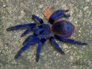 (Pterinopelma sazimai) Iridescent Blue Tarantula 1cm Slings LIVEFOOD