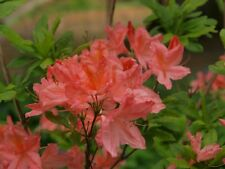 Rhododendron Apple Blossom in 9cm pot deciduous azalea