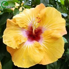 New listing 100 pcs Giant Hibiscus Flower Seeds Hardy Mix Color Diy Home Garden Potted