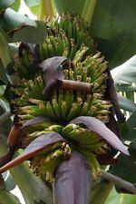 winterharte Yunan-Banane Palmen schnellwüchsig exotische Pflanzen für den Garten