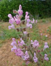 Salvia recognita, 20 seeds