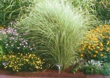extragroße Jumbopflanze Eulaliagras, Ziergras mit Locken, halbhohes Chinaschilf