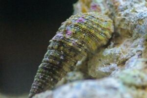 100 Adult Cerith Snail Invertebrates Clean Up Crew Reef Safe