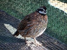 25+ Northern Bobwhite Quail Hatching Eggs  NPIP and AI tested clean