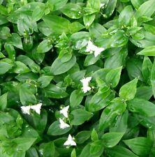 TRADESCANTIA plante pot jardinière terre hydroponie 2 boutures repris assurée
