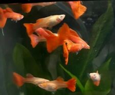 🔥Full red albino in pair( 1male 1 female)