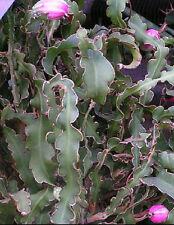 Epiphyllum curly locks exotic rare cacti cactus succulent hanging seed 100 SEEDS