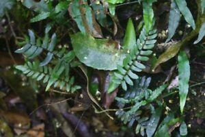 Native Fern - Pellaea falcata