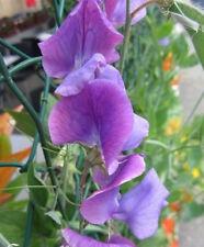 ♫ POIS de SENTEUR 'Violet Foncé' Lathyrus odoratus ♫ Graines ♫ Ornement Grimpant
