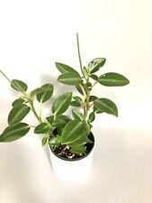 peperomia Plant 4�