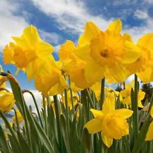 PRE ORDER - Dutch Master Narcissus - Yellow Daffodil Flower Bulbs - 5kg