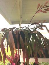5 FRESH CUTTINGS!! Red Ramulosa Rhipsalis/ Pseudorhipsalis Unique Orchid Cactus