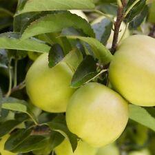 Apfel Baum 'Golden Delicious' Malus im 7,5L Topf gewachsen ca. 150-200cm