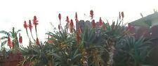 100 Tree Aloe Arborescens Seeds Medicine Plnt 2017 Seeds