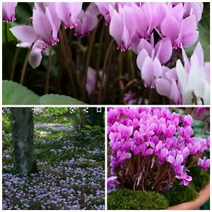 Cyclamen hederifolium fresh seeds! Ground cover long winter flower! Spreads🌸