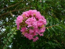 9 Graines - Lilas des Indes - lilas d'été - LAGERSTROEMIA INDICA - Fleurs Arbre